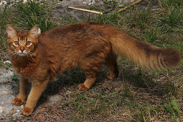 Résultat d'images pour chat roux brun